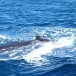 Humpback whales, Coral Bay WA