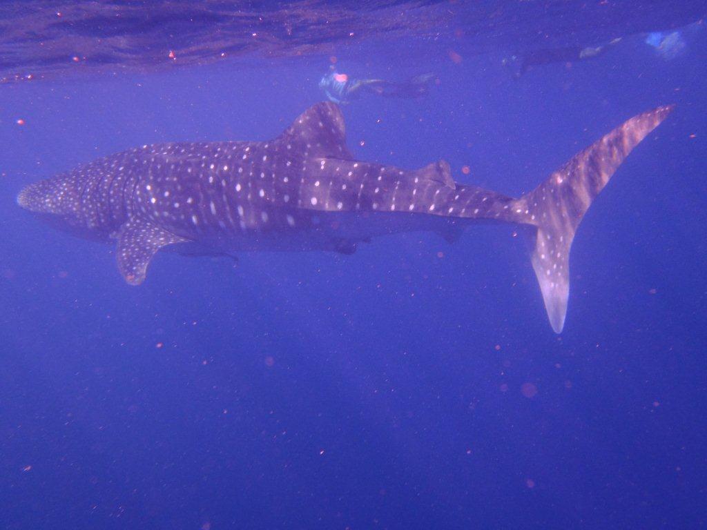 Whale Shark, Coral Bay WA