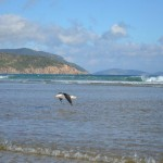 Large seagull at Norman Beach