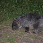 A friendly wombat who visited our camp site looking for scraps