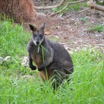 A wallaby at Bear Gully campsite