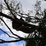 Koala fight, koala fight!