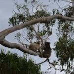 Cape Otway Koalas fighting