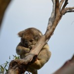 Cute koala sleeping in tree