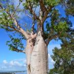 Boab Tree, Kings Park