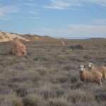 Sheep on Ningaloo Station