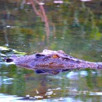 Croc - Yellow water breakfast cruise. Kakadu