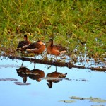 Reflective ducks - Yellow water breakfast cruise. Kakadu