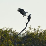 Sea Eagles - Yellow water breakfast cruise. Kakadu