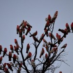 Silly galah's - Kings Canyon