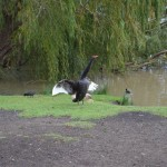 Black Swan, Murray River