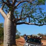 Gibb River Road Boab tree
