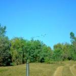 Brolgas, Ord River camp site