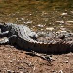 Windjana Gorge croc