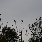 Black Cockatoos at Tom Groggin
