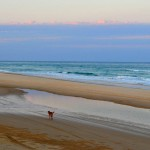 Fraser Island - Dingo on the beach