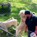 Lunch time for a white lion at Mogo Zoo