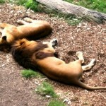 Lazy lions at Mogo Zoo