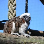 A little Tamarin at the Mogo Zoo