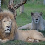 A couple of white lions, at the Mogo Zoo