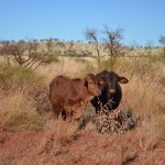 Little Moo cows, on the way to Tom Price,  The Pilbara