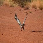 Wedgetail Eagle (I think),  The Pilbara