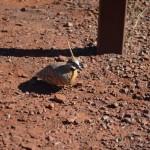 Spinifex Pigeon, Karijini NP, The Pilbara