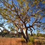 Desert tree, Karijini Eco Retreat