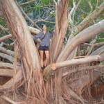 Fig Tree near Fern Pool, Karijini NP