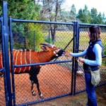 Tara feeding a Bongo - Western Plains zoo