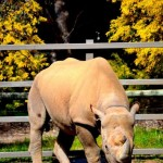 Black Rhino - Western Plains zoo
