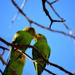 kissy kissy... wild budgies (no smuggling allowed)