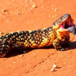Outback wildlife - Shingle back lizard