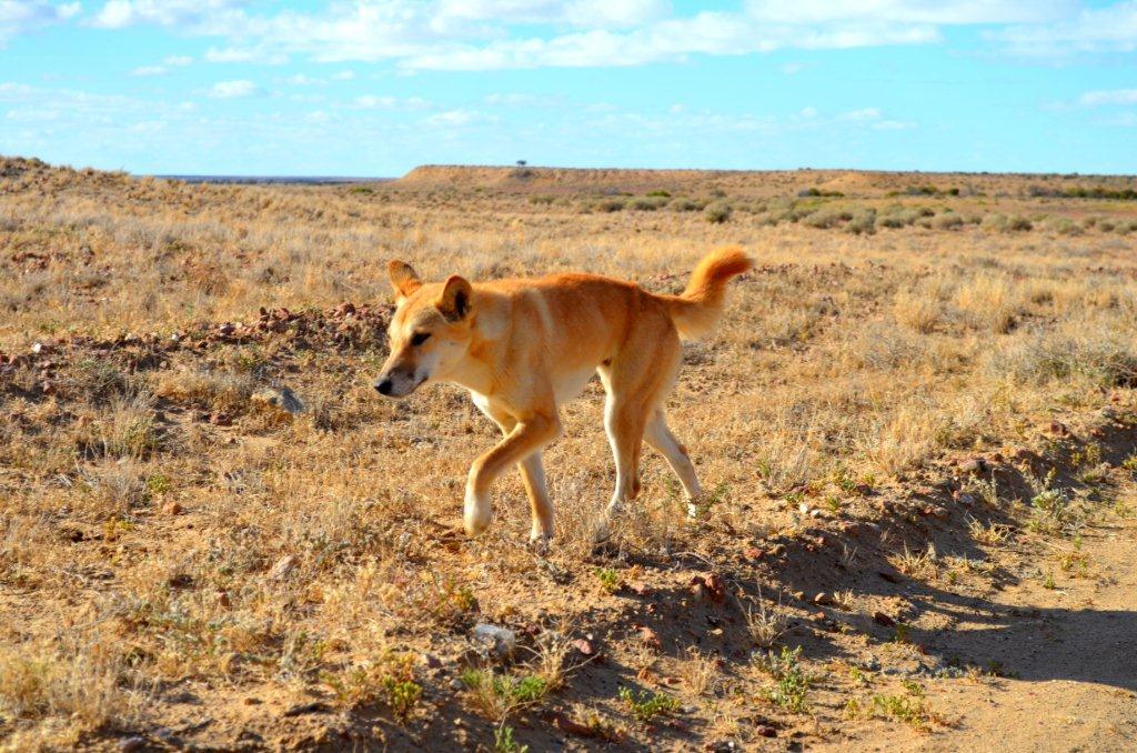 Dingo - near lake eyre