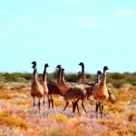 Emus - The Oodnadatta Track