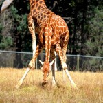 Giraffe attempt at eating grass