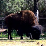 A Bison at Western Plains Zoo