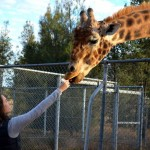 Tara feeding Girafes